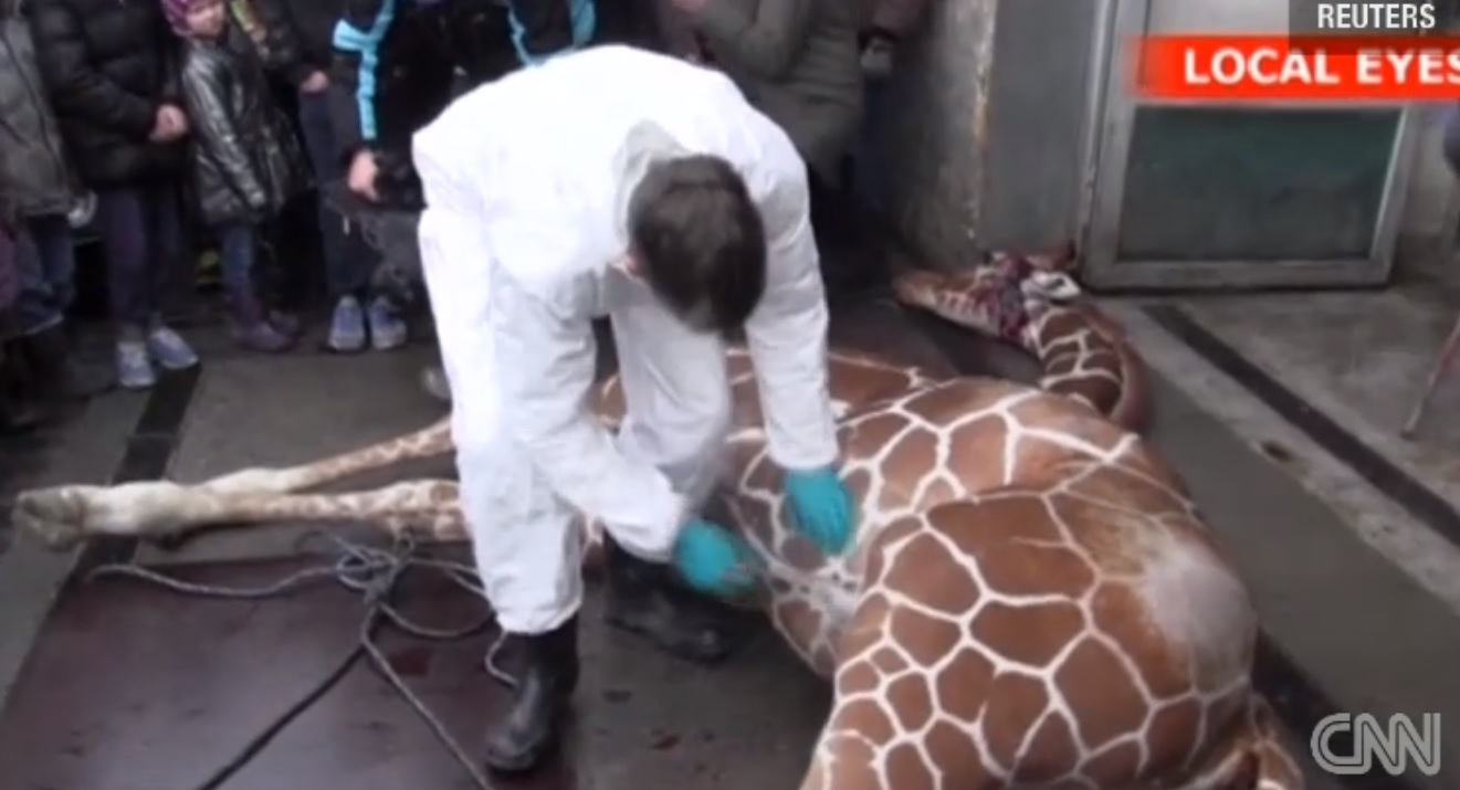 "Healthy Giraffe Killed at Danish Zoo ""To Stop Inbreeding"" And Teach Science"