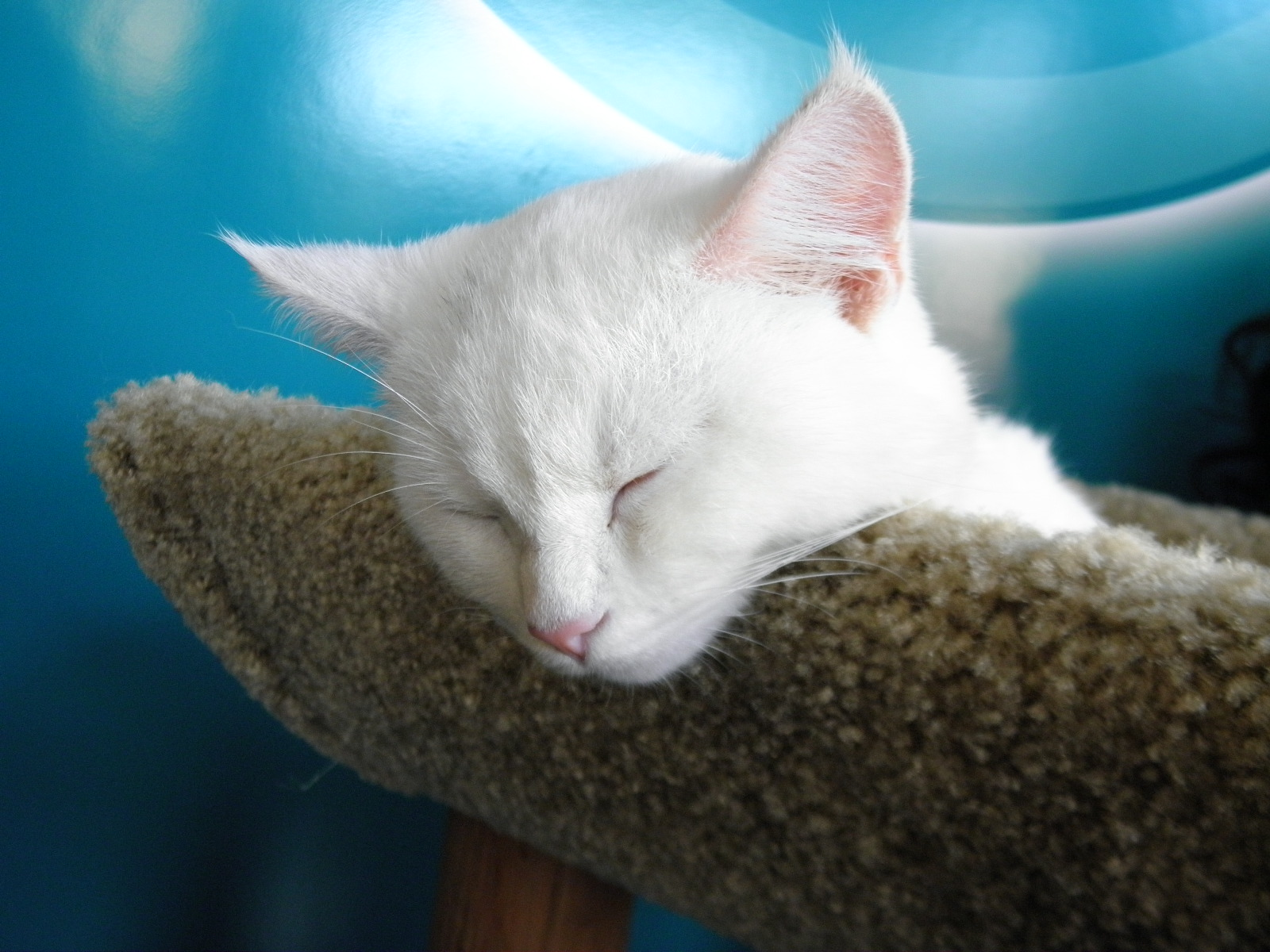 The Bronx Chronicle visits NYC's Cat Cafe