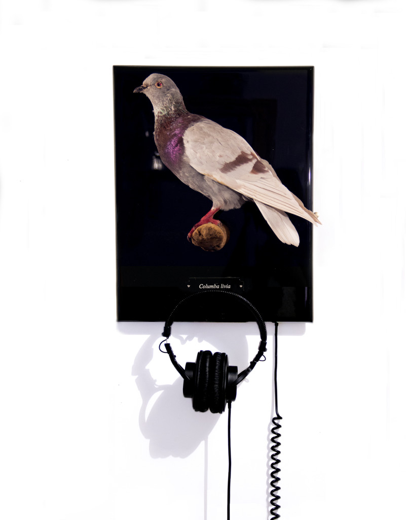 Wave Hill Recapturing exhibition. Jessica Segall. Field Recordings Marginalized Birds of New York City, 2014 Dove. Courtesy f the artist.