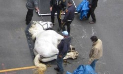 One of many horses to suffer injury or death on NYC streets