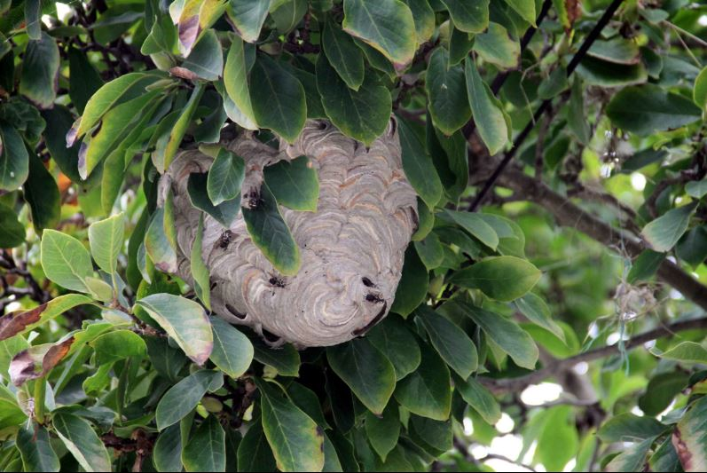 Several residents reported being stung after this hornets nests appeared virtually overnight on Graff Avenue in Throgs Neck. Photo by David Greene