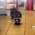 A pair of raccoons had the entire GNC store to themselves after a break-in reported Thursday.--Photo by David Greene