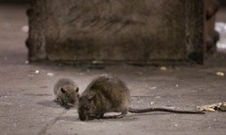 Statement from Borough President Diaz on Rodent Related Death in The Bronx