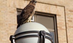 Red-Tailed Hawks now watch over the students and faculty of Bronx Community College in University Heights.--Photo by David Greene
