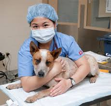 UC Davis School of Veterinary Medicine faculty do pre-op procedures to prepare dogs for their spays and neuters at Spayday