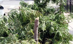 Morris Park residents say a nut with an ax chopped down this newly planted tree along Rhinlander Avenue.--Photo by David Greene