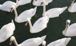 New Independent Study Reveals Scientific Basis for DEC's Mute Swan Control Program is Unsound