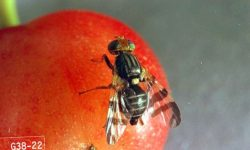 USDA Establishes European Cherry Fruit Fly Quarantine in Niagara County, New York