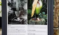 Stench of Corpse Flower Draws Crowds … to NYBG